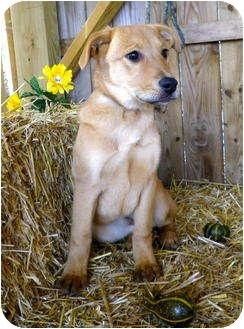 Retriever (Unknown Type) Mix Puppy for adoption in Metamora, Indiana - Chrysanthemum