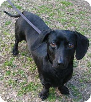 Dachshund Mix Dog for adoption in Muldrow, Oklahoma - Darcie