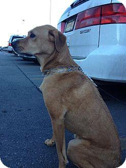 Rhodesian Ridgeback Mix Dog for adoption in Alamogordo, New Mexico - Marty