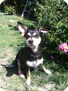 Corgi/Miniature Pinscher Mix Dog for adoption in Tustin, California - Emma