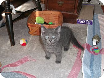 Domestic Shorthair Kitten for adoption in Des Moines, Iowa - Auggie
