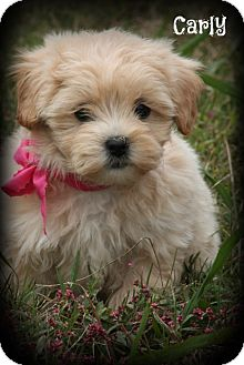Shih Tzu/Poodle (Miniature) Mix Puppy for adoption in Brattleboro, Vermont - Carly