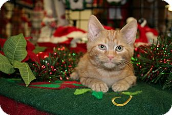 American Shorthair Kitten for adoption in Hagerstown, Maryland - Carmel
