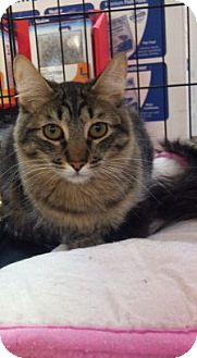 Maine Coon Cat for adoption in Modesto, California - Carter