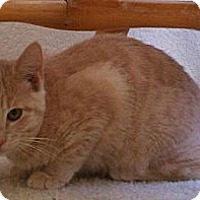 Domestic Shorthair Kitten for adoption in Austin, Texas - Diego II