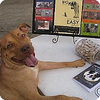 Pit Bull Terrier Dog for adoption in Northport, Alabama - Annabelle