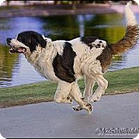 Adopt A Pet :: JOEY - Glendale, AZ