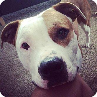 American Pit Bull Terrier Mix Dog for adoption in Alliance, Nebraska - Jasper