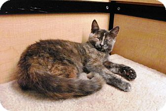 Domestic Shorthair Kitten for adoption in Riverside, California - Paisley