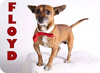 Chihuahua Mix Dog for adoption in Gainesville, Florida - Floyd
