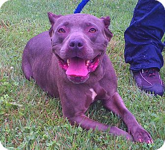 American Staffordshire Terrier Mix Dog for adoption in Metamora, Indiana - Dale Evans