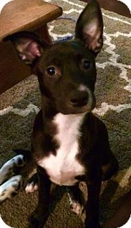 Terrier (Unknown Type, Medium) Mix Puppy for adoption in Walker, Louisiana - Lexi