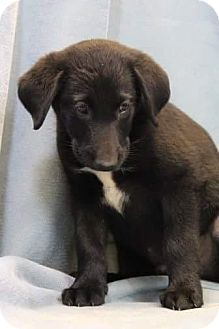 Labrador Retriever/Border Collie Mix Puppy for adoption in Baltimore, Maryland - Abner