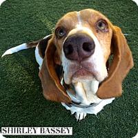 Adopt A Pet :: Shirley Bassey - Acton, CA