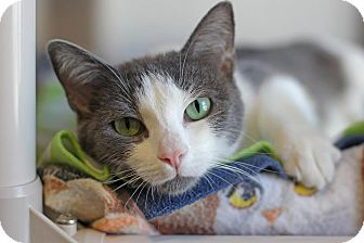 Domestic Shorthair Cat for adoption in Midland, Michigan - Charlamagne