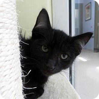 Domestic Shorthair Kitten for adoption in Janesville, Wisconsin - Randall