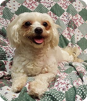 Maltese Mix Dog for adoption in Deer Park, Texas - Buddy