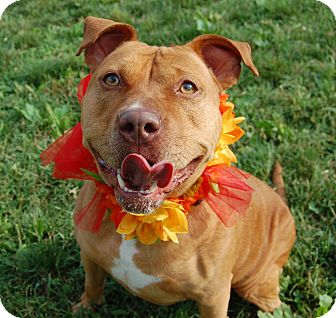American Staffordshire Terrier Mix Dog for adoption in Wilmington, Delaware - Luna