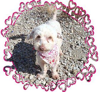 Lhasa Apso/Poodle (Miniature) Mix Dog for adoption in Las Vegas, Nevada - Dennis