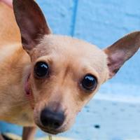 Adopt A Pet :: Pepperccini - Eugene, OR