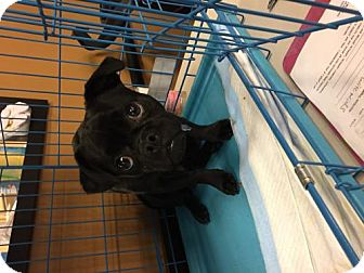 Pug/Chihuahua Mix Dog for adoption in Los Angeles, California - Oliver