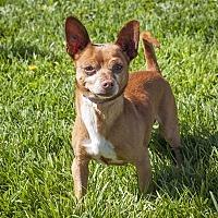 Adopt A Pet :: Buttercup - Napa, CA