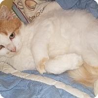 Domestic Mediumhair Cat for adoption in Braidwood, Illinois - Luigi