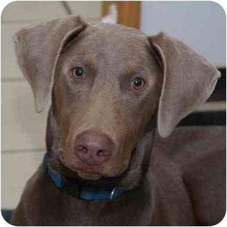 Doberman Pinscher Dog for adoption in Westfield, New York - Brock