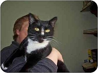 Domestic Shorthair Cat for adoption in East Stroudsburg, Pennsylvania - Olivia
