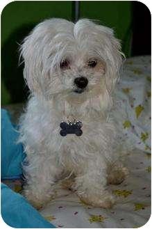 Maltese Dog for adoption in petaluma, California - Tiffany