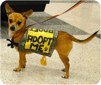 Chihuahua Mix Dog for adoption in Sacramento, California - Walker 6 pounds, needs foster