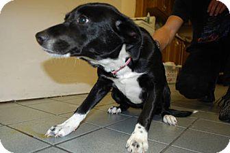 Labrador Retriever/Border Collie Mix Puppy for adoption in Lexington, Kentucky - Catness