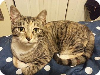 Domestic Shorthair Kitten for adoption in Brooklyn, New York - Isabella