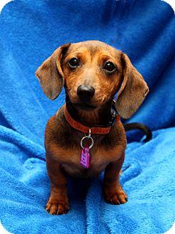Dachshund Mix Puppy for adoption in Wichita, Kansas - Mini