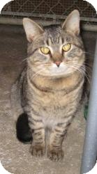 Domestic Shorthair Cat for adoption in Geneseo, Illinois - Rick