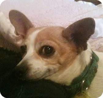 Chihuahua Dog for adoption in Cleveland, Ohio - Minnie