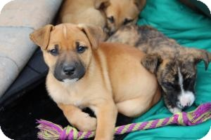 Boxer/Shepherd (Unknown Type) Mix Puppy for adoption in Marlton, New Jersey - Baby Sugar