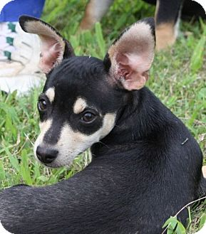Chihuahua Mix Puppy for adoption in Plainfield, Connecticut - Phil (In New England)