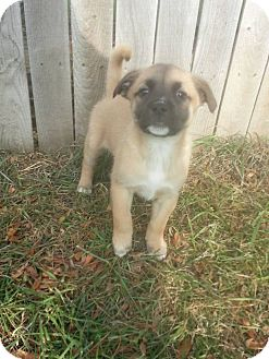 Shepherd (Unknown Type) Mix Puppy for adoption in West Allis, Wisconsin - Rose