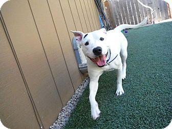 Pit Bull Terrier/Boxer Mix Dog for adoption in Dublin, California - Megan