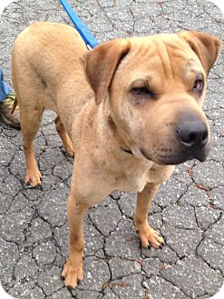 Shar Pei/Labrador Retriever Mix Dog for adoption in Snohomish, Washington - Wonder Boy Woodsock!