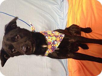 Labrador Retriever/Saluki Mix Dog for adoption in Indianapolis, Indiana - Bat