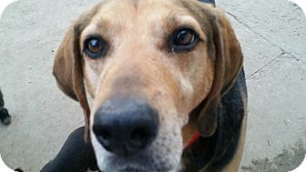 Treeing Walker Coonhound/Catahoula Leopard Dog Mix Dog for adoption in Gustine, California - DANK