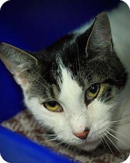 Domestic Shorthair Cat for adoption in Parma, Ohio - Miles