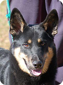 German Shepherd Dog/Siberian Husky Mix Dog for adoption in Preston, Connecticut - Murphy AD 03-26-16