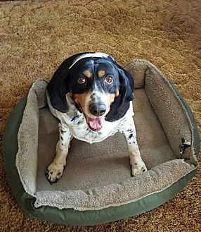 Bluetick Coonhound/Hound (Unknown Type) Mix Dog for adoption in Columbus, Ohio - Missie