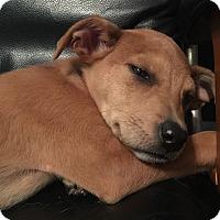 Adopt A Pet :: Stella - Fredericksburg, VA