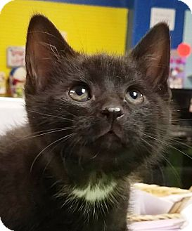 Domestic Shorthair Kitten for adoption in Adrian, Michigan - Ash