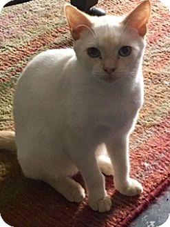 Siamese Kitten for adoption in Houston, Texas - Cujo