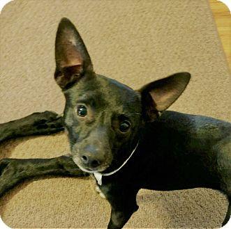 Miniature Pinscher/Chihuahua Mix Dog for adoption in Redmond, Washington - Hampton
